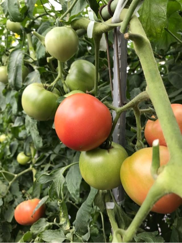 画像: 小谷あゆみ『岡山で桃太郎トマトとフジッコのコラボ番組ロケでした』