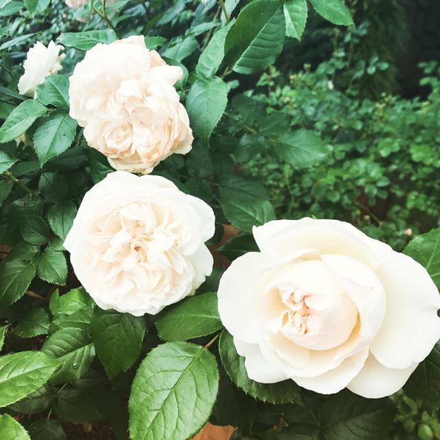 画像: ☆バラと音楽の休日☆