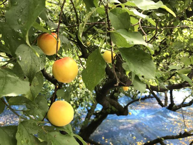 画像: 世界農業遺産「みなべ田辺の梅システム」を初めて見てきました。梅干しのふしぎな力の話
