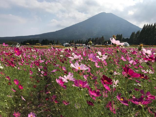 画像: コスモス満開の生駒高原から~宮崎県小林市の宮原市長にお会いしました!