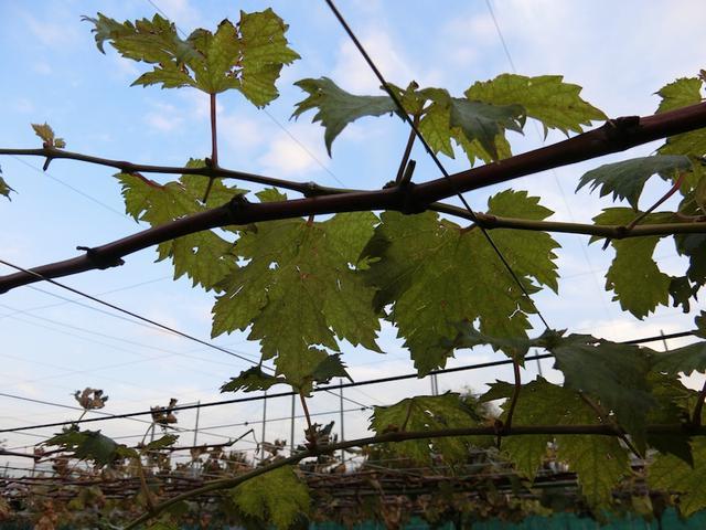 画像: 世田谷の農家が世田谷の畑で育てたぶどうで作った100%世田谷産のワイン。「世田谷メルロー」
