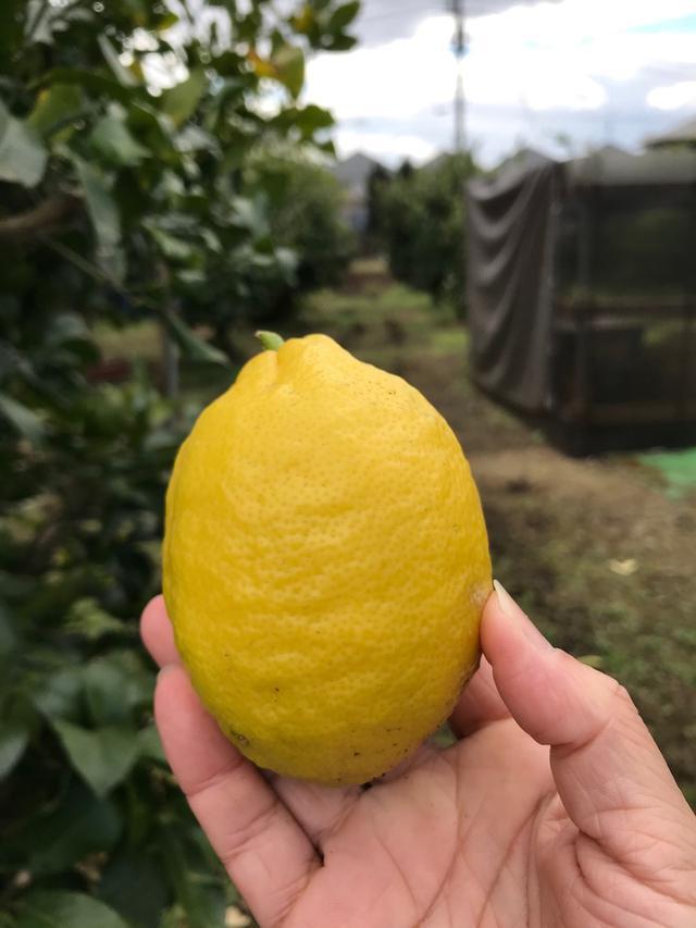 画像: 世田谷区桜丘にある「河原農園」さんに行ってきました!世田谷レモン!東京農業はじめます(その1)