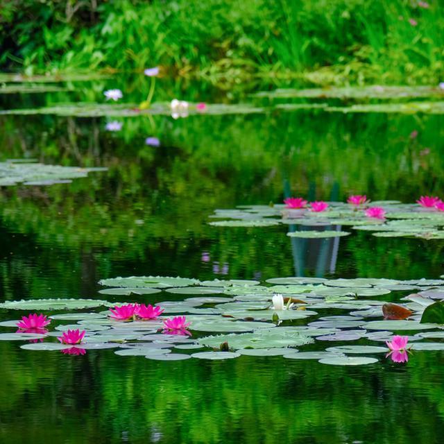 画像: 「高知 モネ財団に認められた庭園 モネの庭マルモッタン」