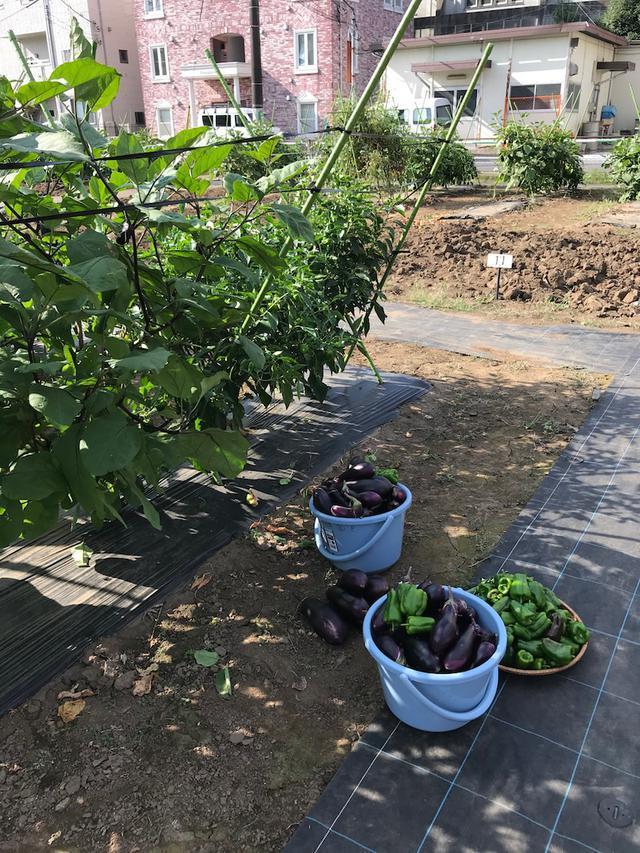 画像: なす休みがありませーん!!きょうの収穫~なす54本 ピーマン76個 トマト15個