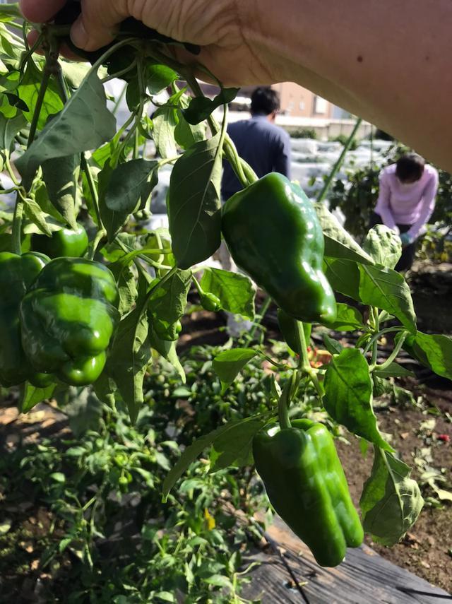 画像: せたがや体験農園では秋冬野菜の準備作業でした。茄子とピーマン最後の収穫!4か月もありがとう!