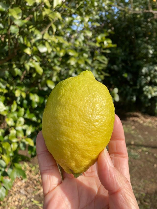 画像: 間もなく11時から!世田谷のレモンつくる河原農園の第2弾!エフエム世田谷で畑の力らららラジオ放送