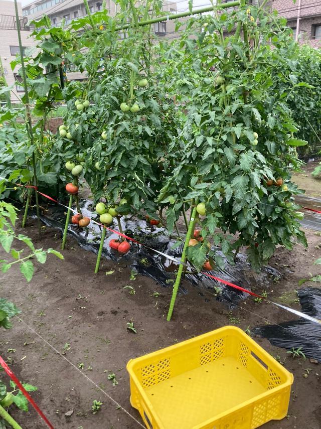 画像: せたがや体験農園 雨の中 きょうの仕事