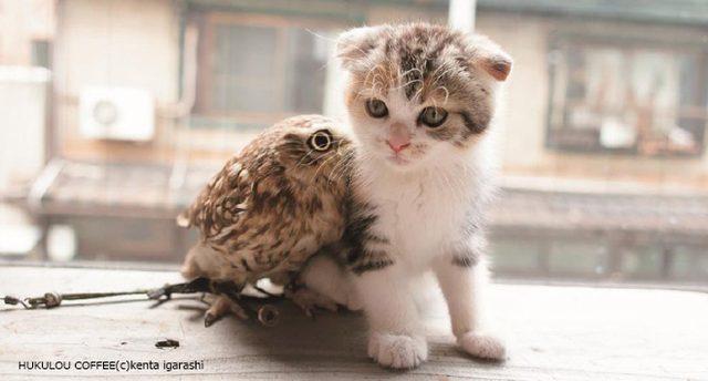 """画像: 21世紀最大級の""""異種格闘技戦""""? 猫vsフクロウのかわいさ頂上決戦『フクとマリモ』"""