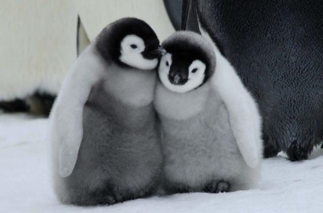 画像: 【画像あり】たまらなくかわいい! フワフワしたペンギンの子ども、ぬいぐるみのようなホッキョクグマの親子...極地で暮らす動物たちの日常