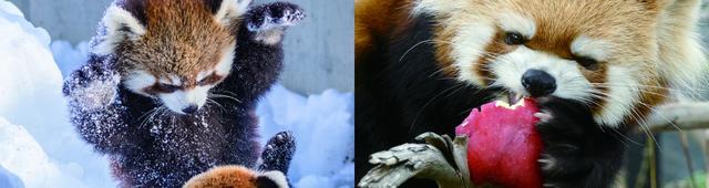 画像: ちょっぴりドジな姿がかわいくてたまらないレッサーパンダの写真集がついに登場!