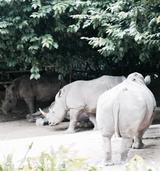 画像: 絶滅危惧種のシロサイ 珍獣、希少動物いっぱいです。