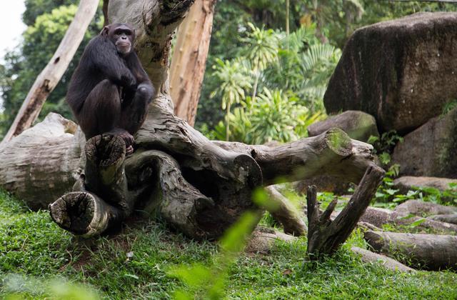 画像: チンパンジーも表情豊か。