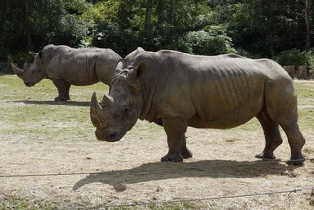 画像: 仏動物園に密猟者、シロサイ殺し角奪う 「前代未聞」の事件に衝撃