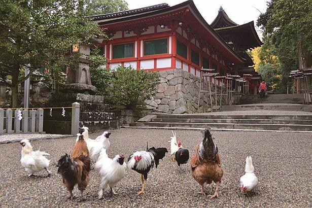 画像: 酉年にぴったり!ニワトリ40羽が出迎える神社で参拝   ニュースウォーカー