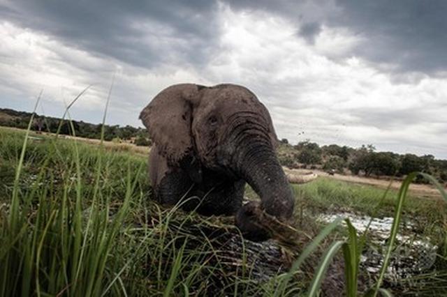画像: 野生のゾウ、睡眠は1日2時間だけ 哺乳類で最短か 研究