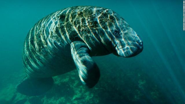 画像: 米当局、マナティーの絶滅危惧種指定を解除 個体数が回復