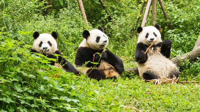 画像: パンダ、絶滅危惧種から外れる