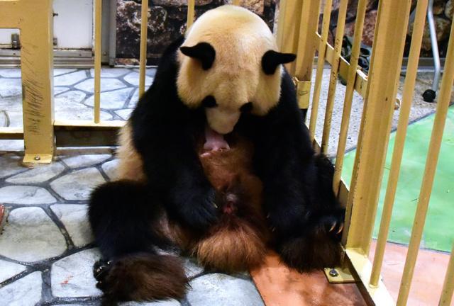 画像: 赤ちゃんパンダ誕生、パパは「世界最高齢」更新 和歌山:朝日新聞デジタル