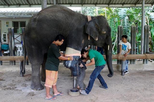 画像: タイで足先失った雌ゾウに最新式義足、国境で地雷踏む