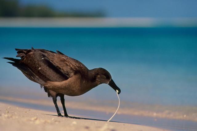 画像: 海のプラスチックに「匂いの罠」、動物誤飲の一因