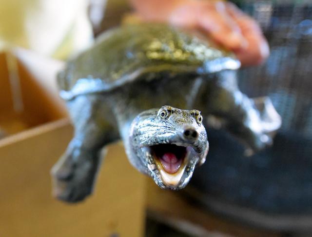 画像: スッポン、絶滅危惧種に 食用は影響なし レッドリスト:朝日新聞デジタル