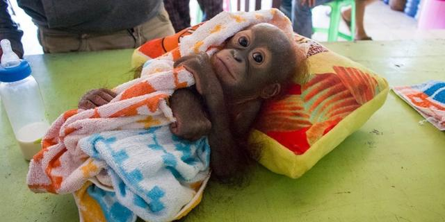 画像: ボルネオの赤ちゃんオランウータン、ハンターに撃たれて置き去りにされる