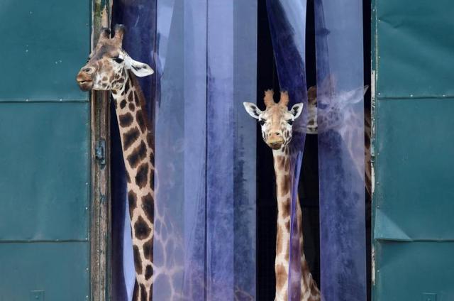 画像: キリンの首を長くした遺伝子ゲノムを解読=科学者チーム