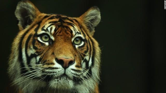 画像: 野生のトラ、100年ぶりに個体数増加 WWF