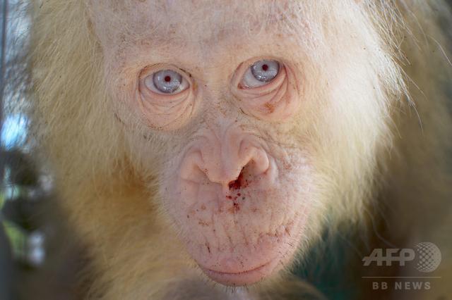 画像: アルビノのオランウータン、名前が「アルバ」に決定 インドネシア
