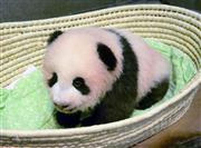 画像: パンダの赤ちゃん「シャンシャン(香香)」命名!母娘お目見え12月