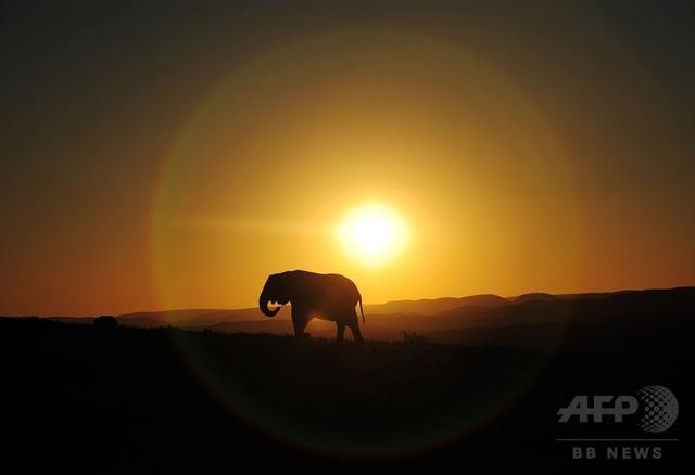 画像: アフリカゾウの生態が昼夜逆転、密猟回避で 研究