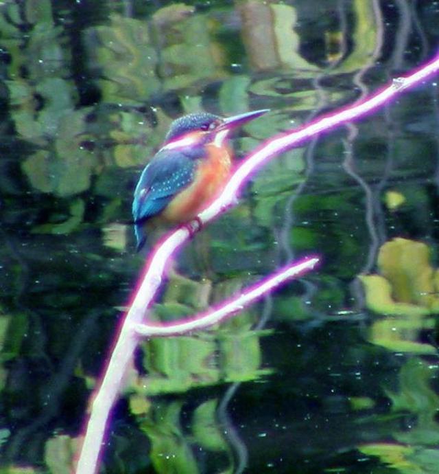 画像: テレビ東京「池の水ぜんぶ抜く」で生まれ変わった習志野市の森林公園に新たなカワセミが飛来