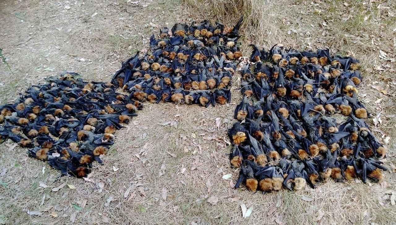 画像: 猛暑のオーストラリアでコウモリが大量死、脳が過熱