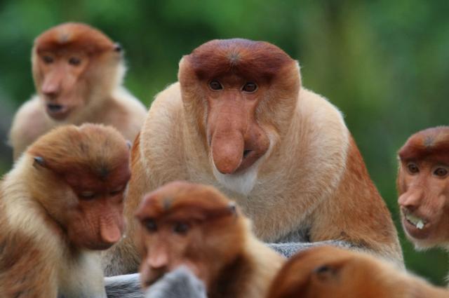 画像: 大きな鼻ほど強くてモテる、テングザルで判明、中部大ほか(ナショナル ジオグラフィック日本版) - Yahoo!ニュース