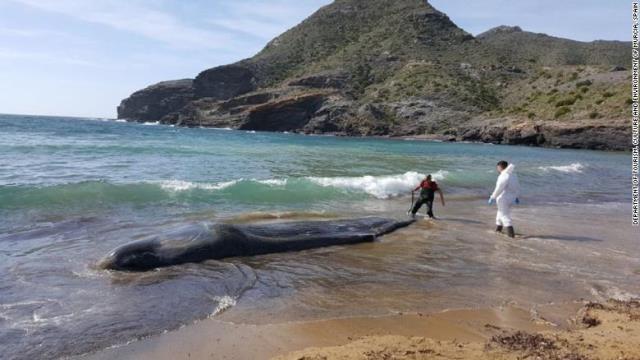 画像: クジラの胃に30キロのごみ、消化できず死ぬ スペイン