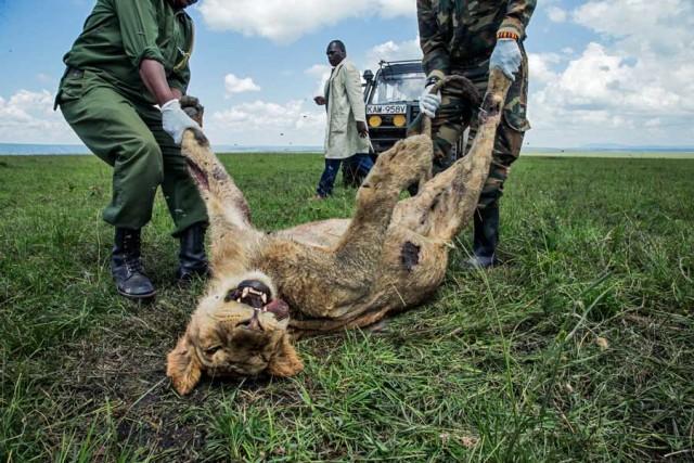 画像: ライオンが毒殺される、アフリカで深刻になる問題(ナショナル ジオグラフィック日本版) - goo ニュース