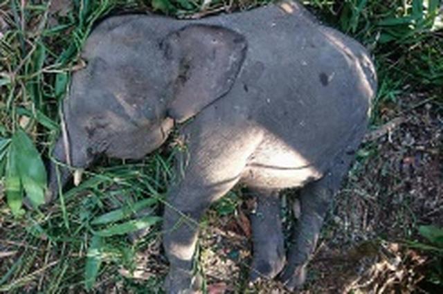 画像: 絶滅危機のボルネオゾウ、作物荒らし殺される マレーシア:時事ドットコム