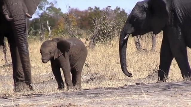 画像: 鼻を失った赤ちゃんゾウが見つかる、生き延びられるか?(ナショナル ジオグラフィック日本版) - Yahoo!ニュース
