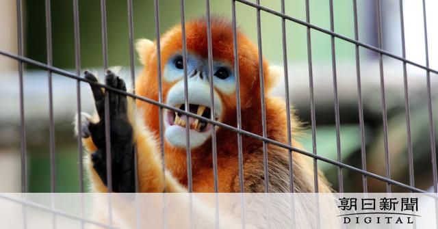 画像: 日本に2匹「黄金のサル」、震災乗り越え元気です 熊本:朝日新聞デジタル