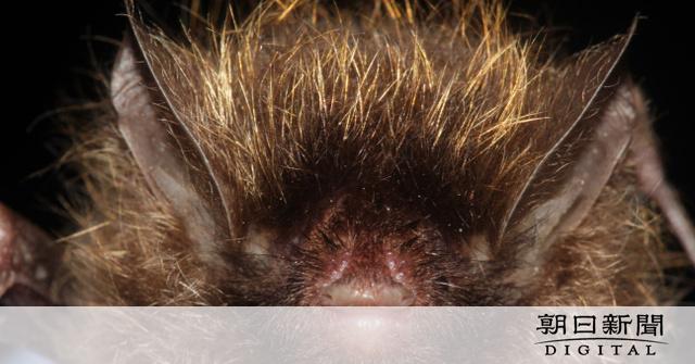 画像: 新種の「金髪コウモリ」確認 WWF、メコン川流域で:朝日新聞デジタル