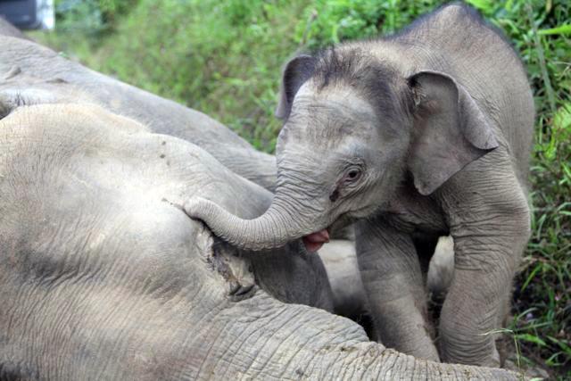 画像: 【悲しすぎる・・・】世界最小のゾウが毒殺されてしまった理由とは