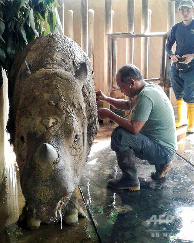 画像: マレーシア最後のスマトラサイが死ぬ、世界で残り80頭未満