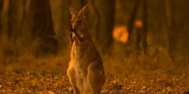 画像: オーストラリア森林火災により、約4億8000万匹の動物が亡くなっていた