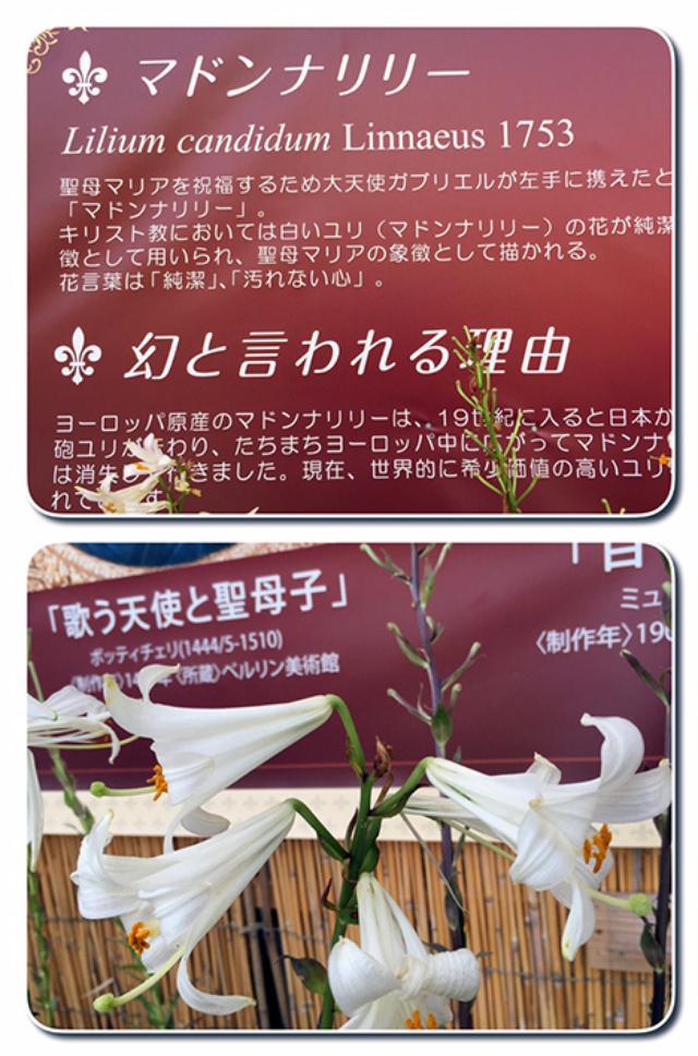 画像7: 6/21 「Beautiful!大阪舞洲ゆり園」