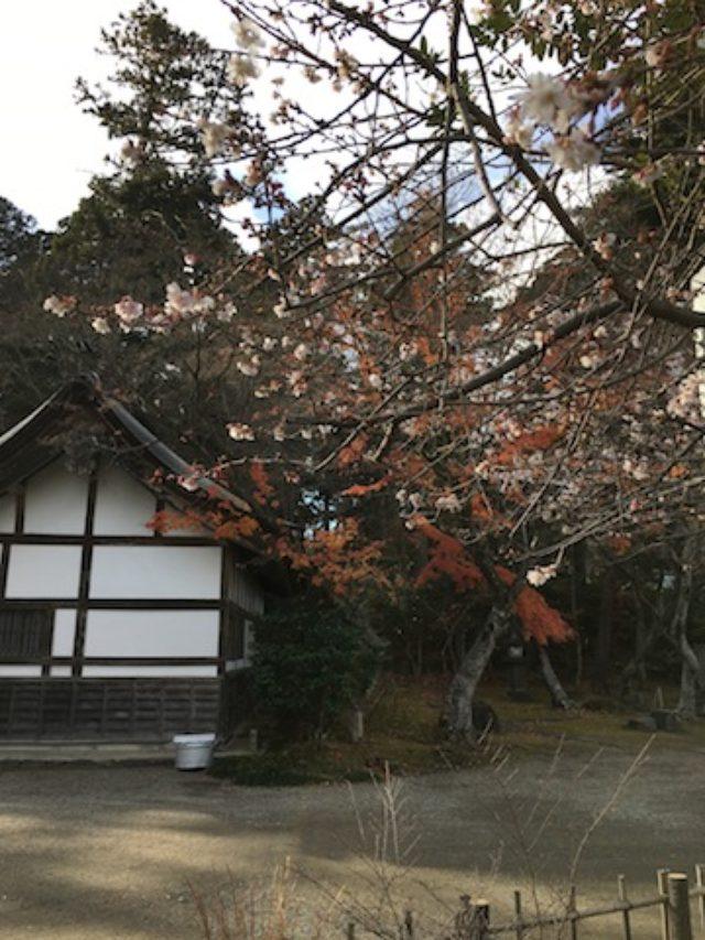 ShikiSakura_yamadera1.jpeg