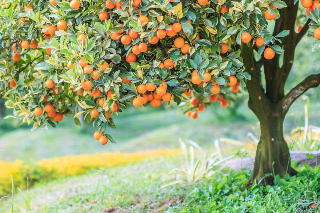 画像: ① オレンジスイート