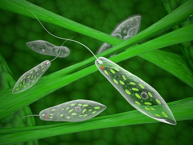 画像: 動物とも植物とも言える「ミドリムシ」