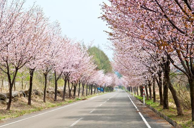 画像: ⑦青森県弘前市/世界一の桜並木