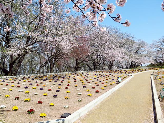 画像: 天童公園は将棋に興味がなくても楽しめる桜の名所ですよ。