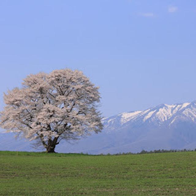 画像: MAP 小岩井農場の一本桜